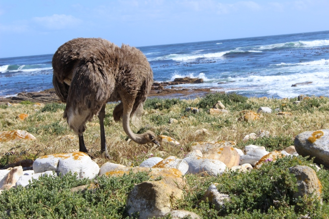 female ostrich hanging out at cape of good hope